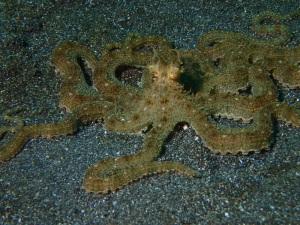 Mimic Octopus 2
